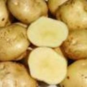 Картофель крупный опт фото