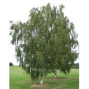 Береза повислая Betula pendula, h см 120-150 фото