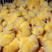 Разведение сельскохозяйственной птицы фото