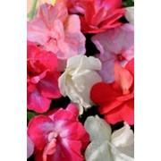 Семена комнатного растения Бальзамин Гименей (комн.) фото