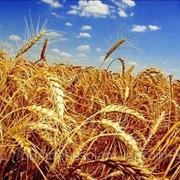 Переработка зерна гречихи и пшеницы фото