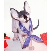 Котята канадского сфинкса шоу и брид-класса фото