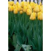 Луковицы тюльпана Апельдорн фото