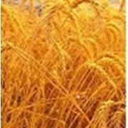 Зерно зернобобовые пшеница фуражная продам в житомирской области фото