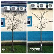 Обрезка плодовых деревьев Щёлково-Фрязино фото