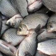 Рыба речная фото