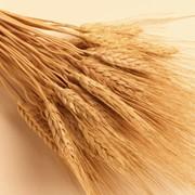 Пшеница фуражная от производителя оптом. фото