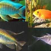 Рыбка аквариумная пресноводная Аквариум Сервис фото