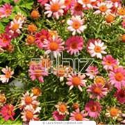 Хризантемы в горшке фото