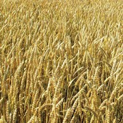 Переработка пшеницы без стоимости мешкотары фото