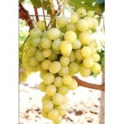 Саженцы винограда Аркадия Крым, выращивание, продажа, консультация фото