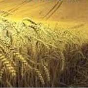 Десикация растений, зерновые культуры, Украина, купить, Запорожье. Авиакомпания Агроавиа, ООО . фото