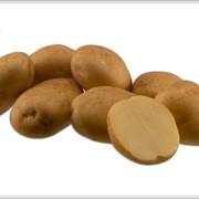 Картофель Рив'єра в наличии фото