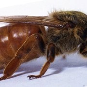 Пчеломатка фото