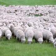 Сельскохозяйственные животные, овцы, овцеводство фото