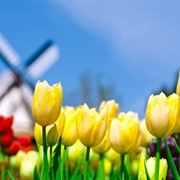 Доставка цветов из Голландии фото