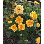Саженцы розы патио Клементина фото