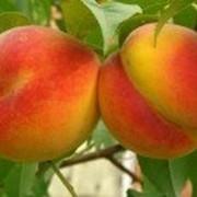 Саженцы персика сорт Валиант фото