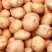 Картофель товарный фото