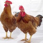 Куры мясо-яичные, мясо-яичный гибрид Космос, молодняк кур, яйца бройлера инкубационные. фото