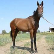 Лошадь английская чистокровная верховая Ямаха фото