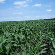 Кукуруза простые гибриды фото