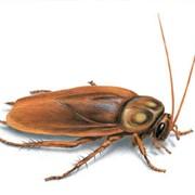 Уничтожение тараканов Сургут, Тараканы Сургут фото