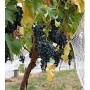 Виноград. Столовые и технические сорта. фото