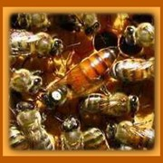 Продаю пчелиных маток и пчелопакеты фото