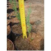 Выращивание экспериментальное Можжевельник скальный Blue Arrow Juniperus scopulorum фото