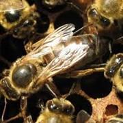 Пчеломатка среднерусская бурзянская фото