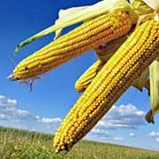 Кукуруза зерно, купить, заказать, Украина фото