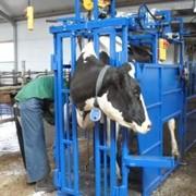 Станок для ветеринарной обработки животных фото