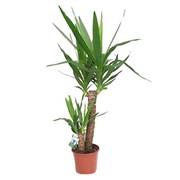 Юкка. Растение горшечное комнатное. фото