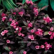 Вейгела цветущая Elvera фото
