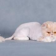 Стрижка котов и кошек фото