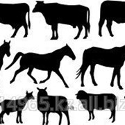 Продам на мясо бычки, коровы, бараны, овцы. фото