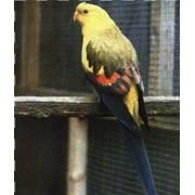 Попугаи горные фото