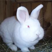 Кролик новозеландский белый фото