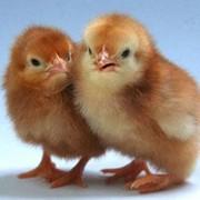 Цыплята бройлеров купить, цыплята суточные, бройлерные цыплята, оптовая и розничная торговля суточным цыпленком, цыплята мясо-яичных пород кур. фото