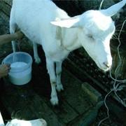 Козье молоко фото