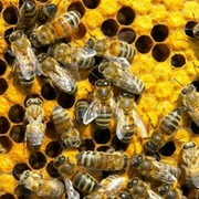 Пчелосемьи с ульями фото