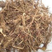 Эхинацея пурпурная, корень фото