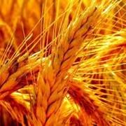 Ячмень зерно, Херсонская область, Украина фото