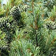 Кедр ливанский Ауреа (Cedrus libani 'Atlantica Aurea') фото