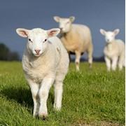 Овцы маленькие фото