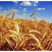 Пшеница озимая, Украина, Херсонская область фото