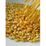 Кукуруза крупная фото