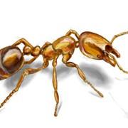Уничтожение муравьев, борьба с муравьями фото