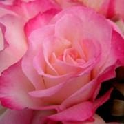 Роза сорт Абигайл Спрей фото